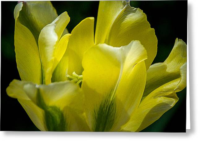 With Love Greeting Cards - Flowing Yellow Tulip Petals Greeting Card by Julie Palencia