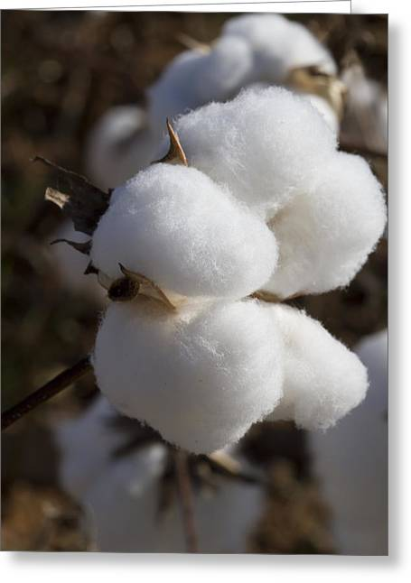Harvestime Greeting Cards - Fluffy Alabama Cotton Boll Greeting Card by Kathy Clark