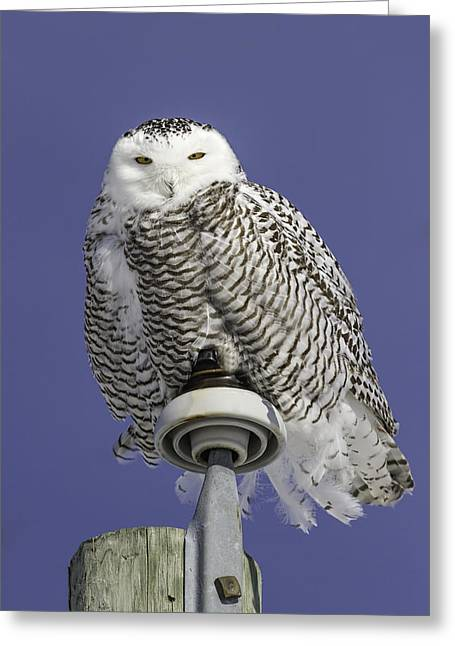 Snowy White Owl Greeting Cards - Fluffy Snowy Owl Greeting Card by Thomas Young