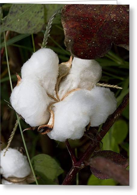 Harvestime Greeting Cards - Fluffy White Cotton Boll Greeting Card by Kathy Clark