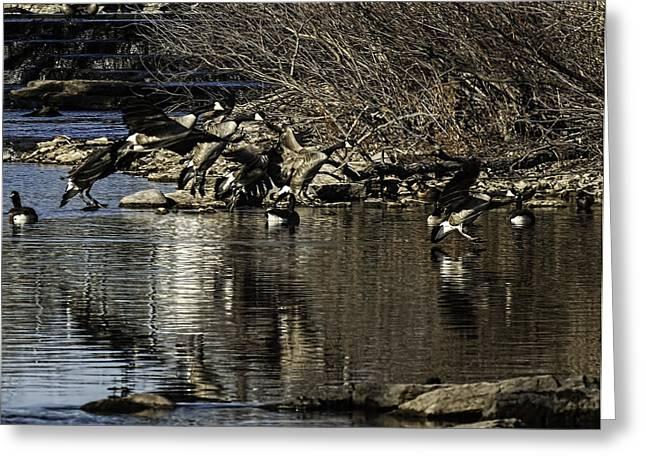 Flock Of Geese Greeting Cards - Fluid Landing Greeting Card by Thomas Young