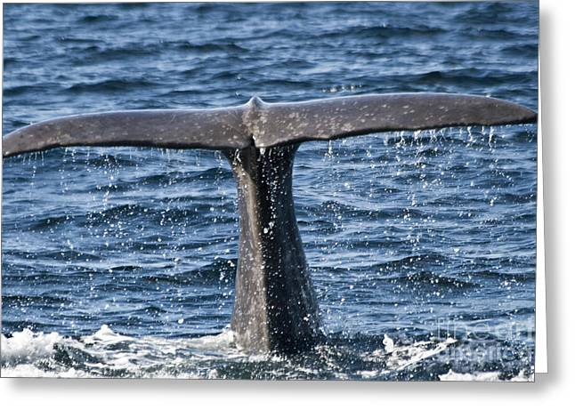 Zoologic Greeting Cards - Flukes of a Sperm Whale 2 Greeting Card by Heiko Koehrer-Wagner