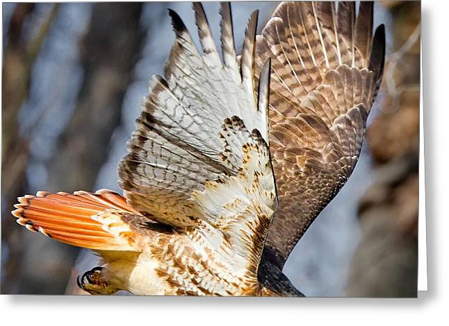 Redtailed Hawks Greeting Cards - Fly Away Greeting Card by Bill  Wakeley