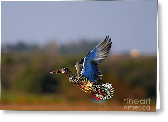 John Kolenberg Greeting Cards - Fly Away Duck Greeting Card by John  Kolenberg