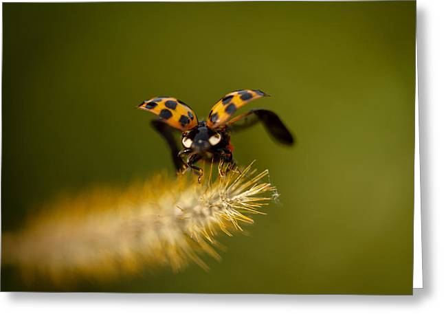 Ladybugs Greeting Cards - Fly Away Greeting Card by Shane Holsclaw