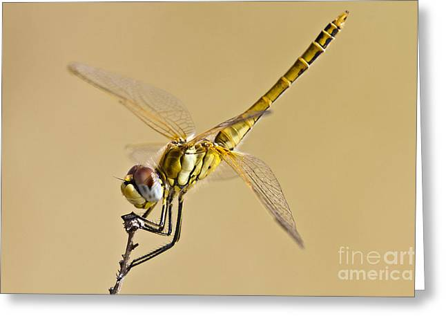 Fly Dragon Fly Greeting Card by Heiko Koehrer-Wagner