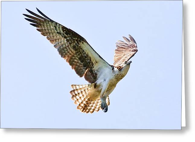 Soaring Falcon Greeting Cards - Fly Like An Eagle Greeting Card by Athena Mckinzie