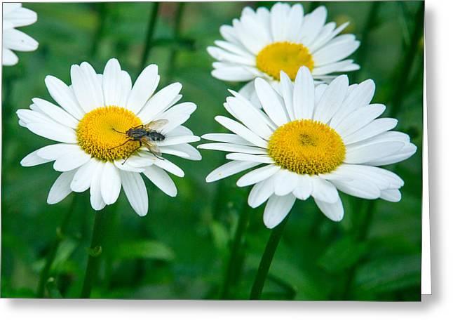 Diptera Greeting Cards - Fly on Daisy 1 Greeting Card by Douglas Barnett