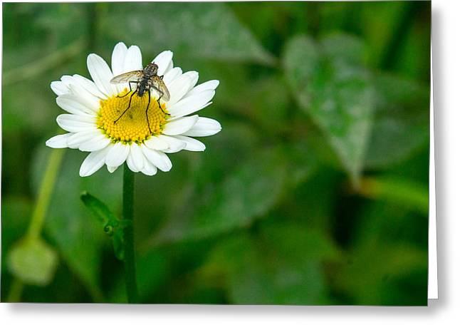 Diptera Greeting Cards - Fly on Daisy 2 Greeting Card by Douglas Barnett