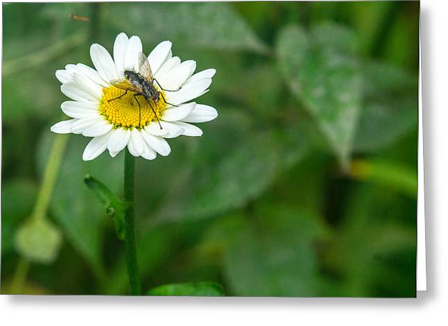 Diptera Greeting Cards - Fly on Daisy 3 Greeting Card by Douglas Barnett