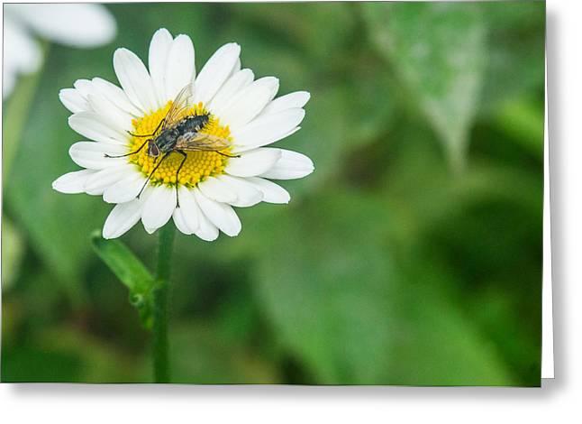 Diptera Greeting Cards - Fly on Daisy 4 Greeting Card by Douglas Barnett