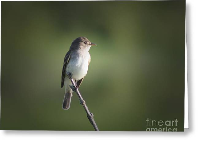 Ornithology Greeting Cards - Flycatcher in Meditation Greeting Card by Anita Oakley