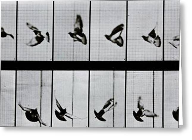 Bird In Flight Greeting Cards - Flying bird Greeting Card by Eadweard Muybridge