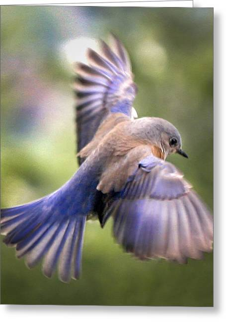 Passeriformes Greeting Cards - Flying bluebird Greeting Card by Jean Noren