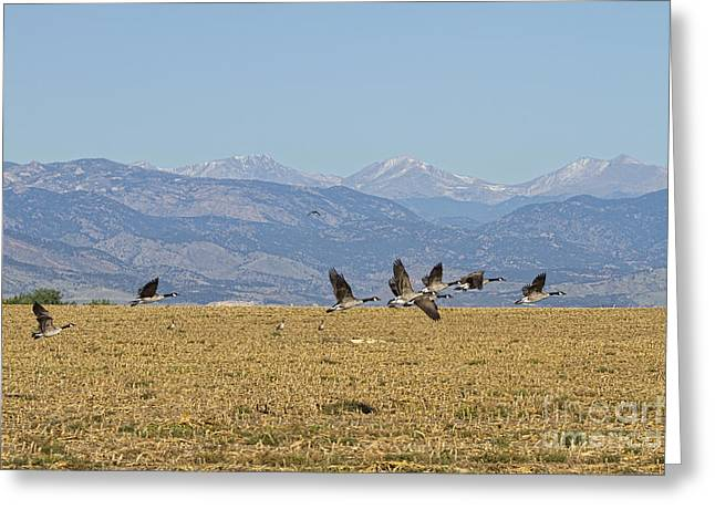 Cackle Greeting Cards - Flying Canadian Geese Colorado Rocky Mountains 1 Greeting Card by James BO  Insogna