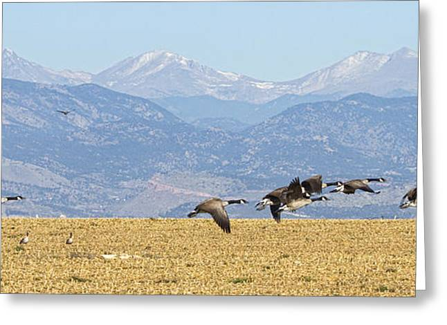 Cackle Greeting Cards - Flying Canadian Geese Rocky Mountains Panorama 2 Greeting Card by James BO  Insogna
