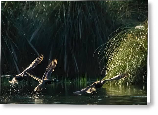 Dawn Oconnor Photographer Greeting Cards - Flying Ducks Greeting Card by Dawn OConnor
