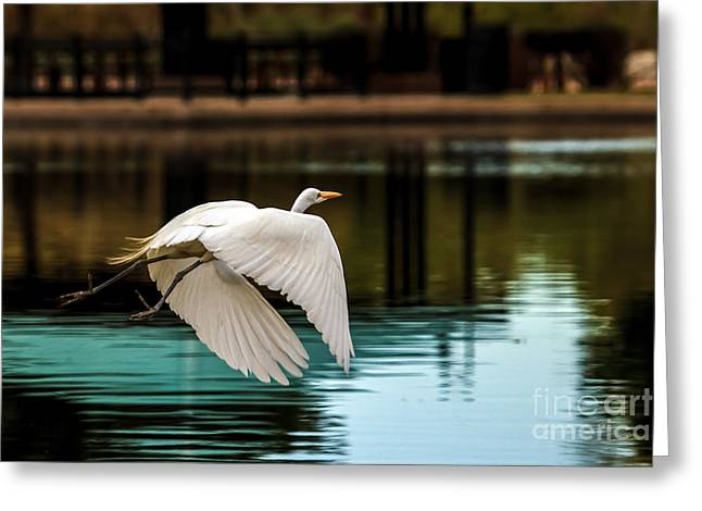 Haybale Greeting Cards - Flying Egret Greeting Card by Robert Bales