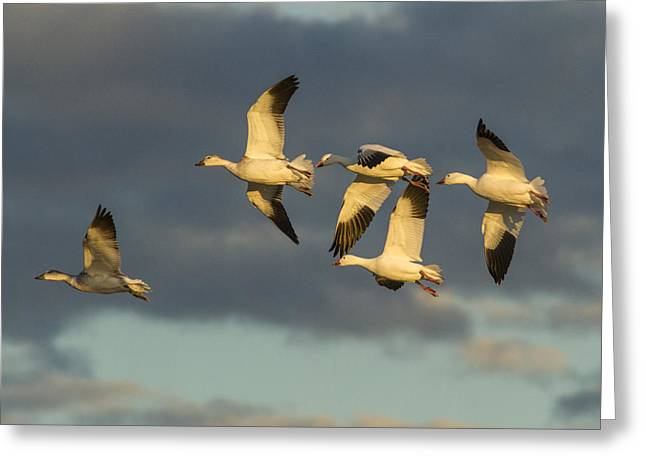 Wildlife Refuge. Greeting Cards - Flying Geese Greeting Card by Jean Noren