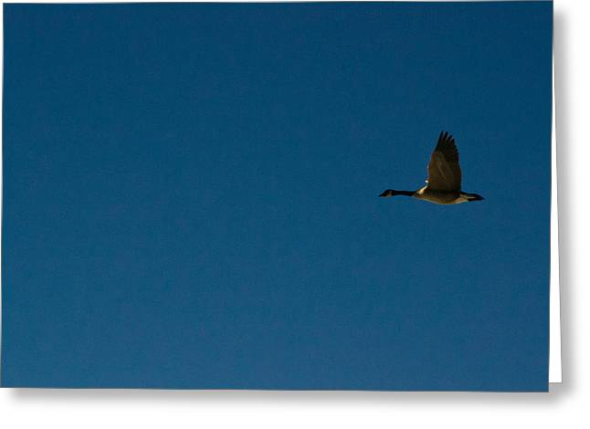 Flying Goose Greeting Card by Matt Radcliffe