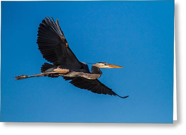 Wing Greeting Cards - Flying Great Blue Heron Greeting Card by Andres Leon