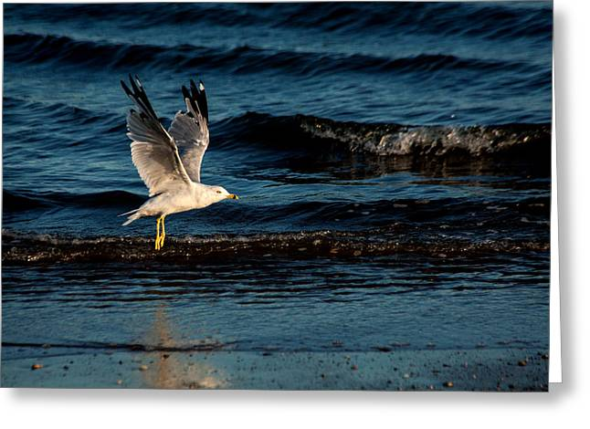 Ring-billed Gull Greeting Cards - Flying Low Greeting Card by Karol  Livote