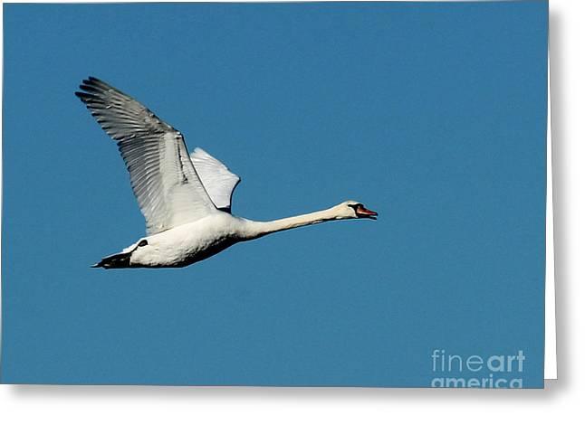 Flying Mute Swan Greeting Cards - Flying Mute Swan I Greeting Card by Deborah  Smith