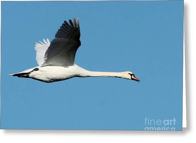 Flying Mute Swan Greeting Cards - Flying Mute Swan II Greeting Card by Deborah  Smith