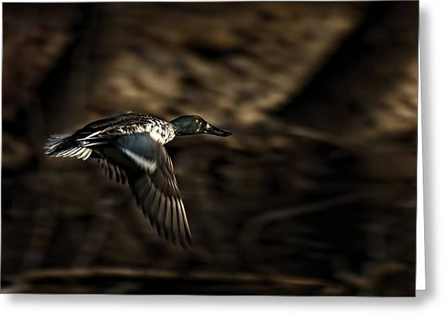 Thomas Young Photography Greeting Cards - Flying Northern Shoveler Greeting Card by Thomas Young