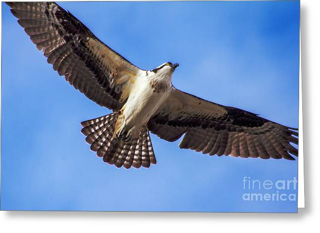 Haybale Greeting Cards - Flying Osprey Greeting Card by Robert Bales