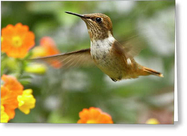 Trochilidae Greeting Cards - Flying Scintillant Hummingbird Greeting Card by Heiko Koehrer-Wagner