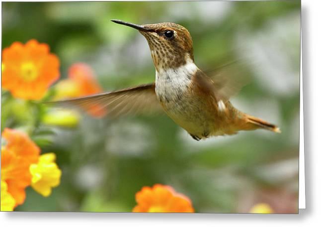 Flying Scintillant Hummingbird Greeting Card by Heiko Koehrer-Wagner