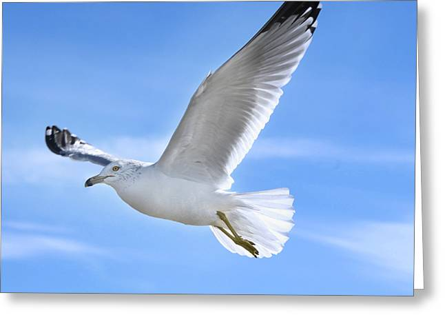 Purchase Greeting Cards - Flying Seagull Greeting Card by Steven  Michael