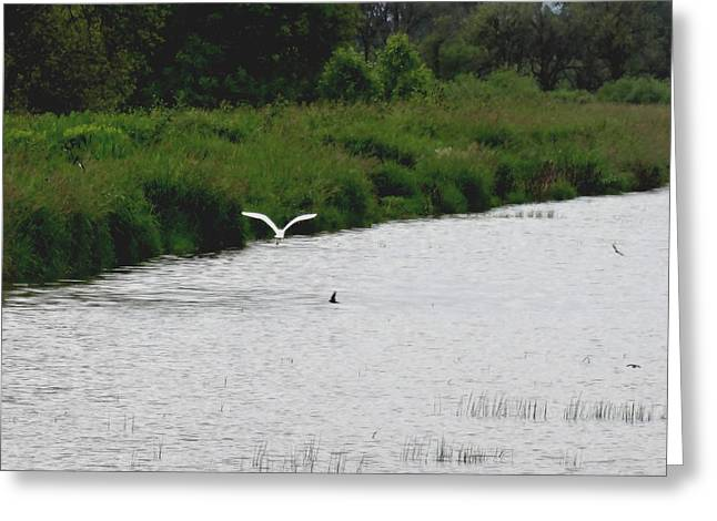 Great Neck Long Island Greeting Cards - Flying Snow Egret Greeting Card by Lizbeth Bostrom