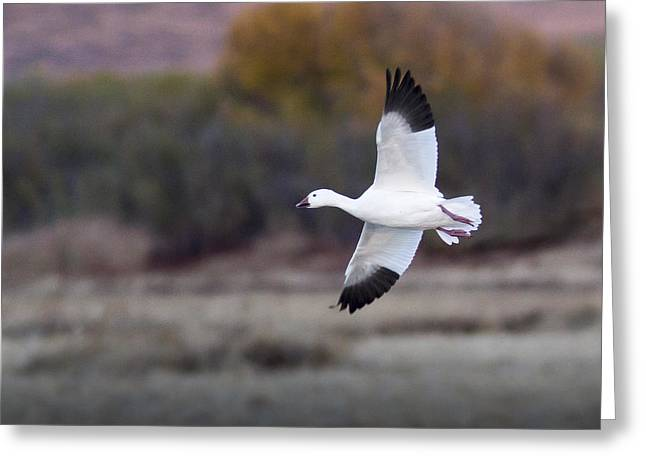 Wildlife Refuge. Greeting Cards - Flying Snow Goose Greeting Card by Jean Noren