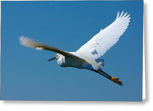 Nature Center Greeting Cards - Flying Snowy Egret Greeting Card by Stuart Litoff