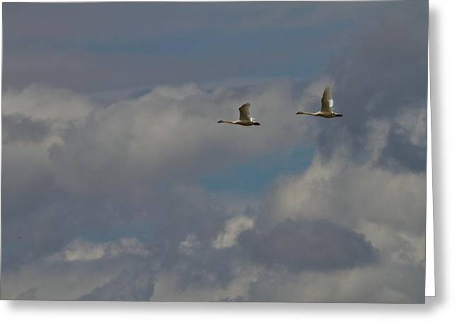 D Wade Greeting Cards - Flying Swans Through The Storm Greeting Card by Dan Sproul