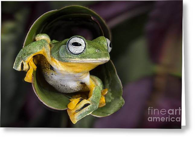 Recently Sold -  - Rhacophorus Greeting Cards - Flying Tree Frog Greeting Card by Linda D Lester