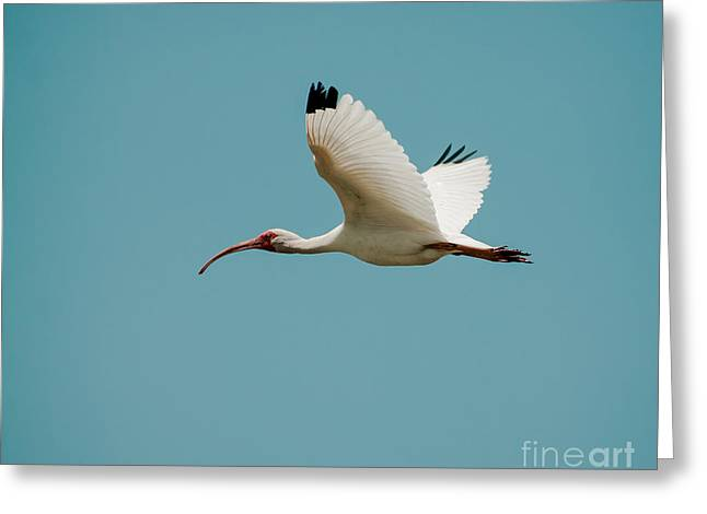 Frederick Greeting Cards - Flying White Ibis Greeting Card by Robert Frederick