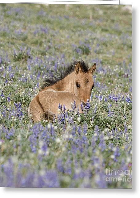 Wild Horse Greeting Cards - Foal in the Lupine Greeting Card by Carol Walker
