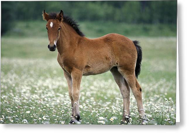 Flower Show Greeting Cards - Foal Standing In Meadow Of Flowers Greeting Card by Rolf Kopfle