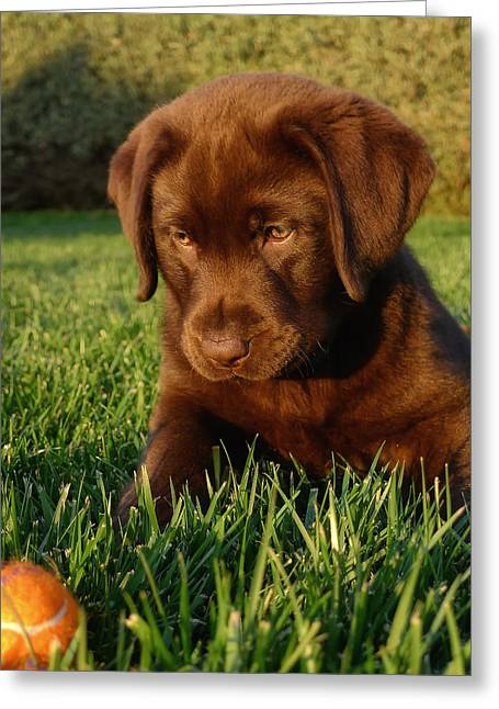 Best Sellers -  - Puppies Photographs Greeting Cards - Focus Greeting Card by Larry Marshall