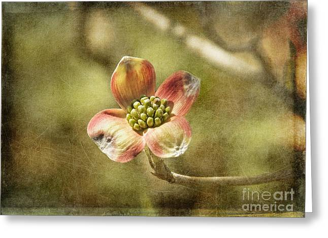 Dogwood Blossom Greeting Cards - Focus on Dogwood Greeting Card by Terry Rowe