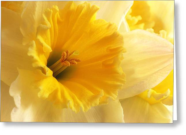 Love Image Greeting Cards - Focus on Spring - Daffodil Close Up Greeting Card by Gill Billington