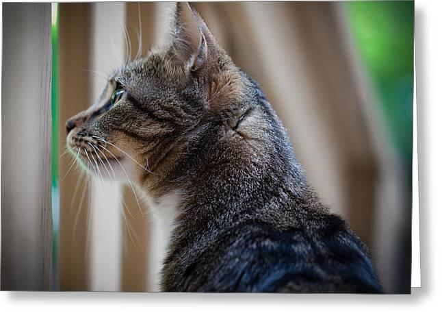 Felis Silvestris Catus Greeting Cards - Focused Feline Greeting Card by David Patterson