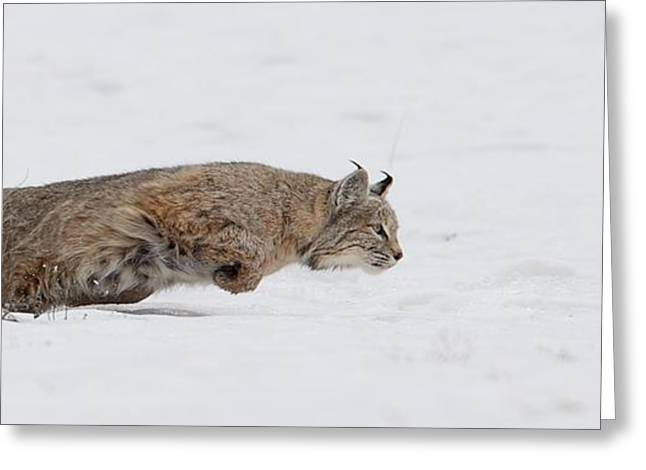 Lynx Rufus Greeting Cards - Focused on Lunch Greeting Card by Christopher Brookhart