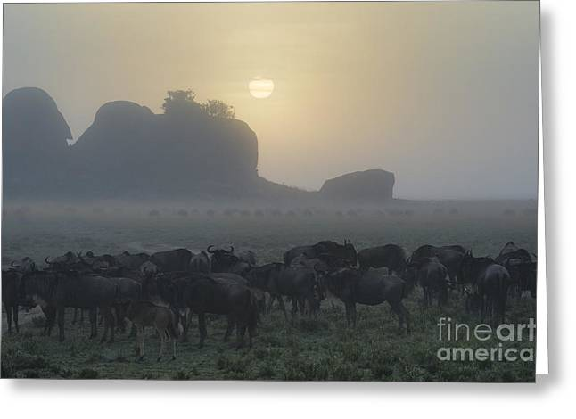 Great Migration Greeting Cards - Foggy Morning - Serengeti Greeting Card by Sandra Bronstein