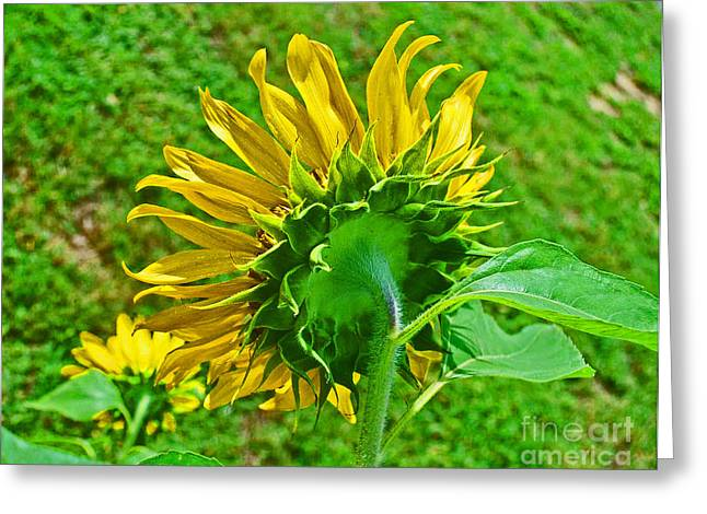 Consumerproduct Greeting Cards - Sunflower Following the Sun Greeting Card by George D Gordon III