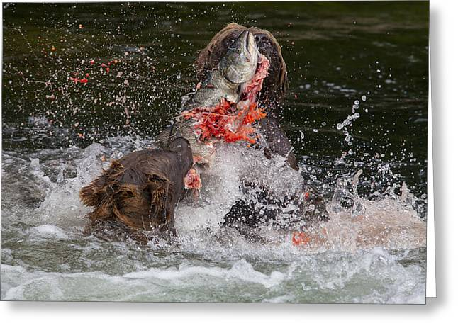 Tongass Greeting Cards - Food Fight Greeting Card by Tim Grams