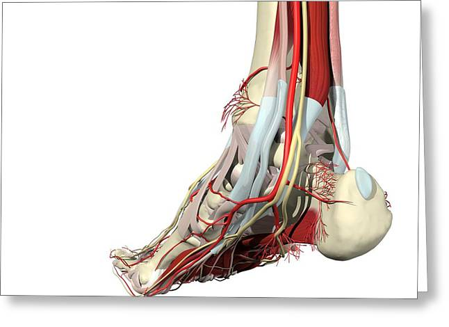 Flexor Digitorum Greeting Cards - Foot And Ankle ? Posteromedial View Greeting Card by Medical Images, Universal Images Group